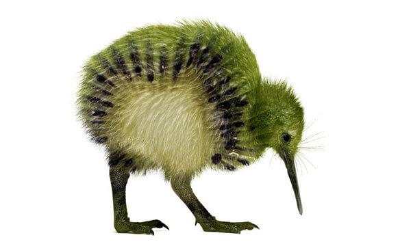 Kiwi, ¿ave o fruta?